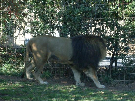 Greenville Zoo: lion