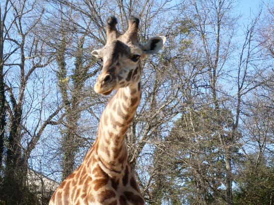 Greenville Zoo: giraffe 2