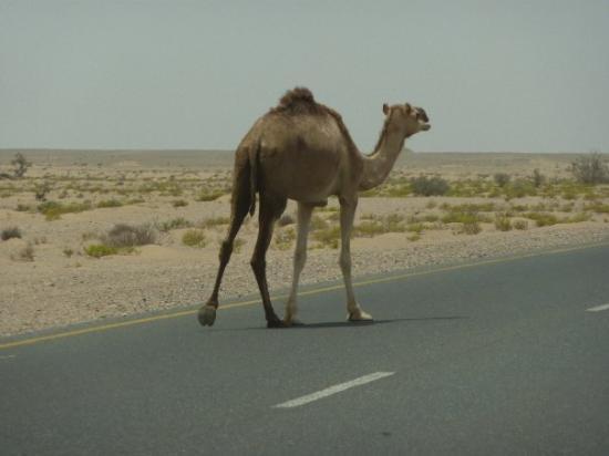 Muscat Governorate, Oman: zalig, da loopt hier gewoon los he