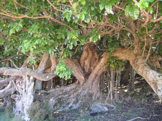 Waiheke Island, New Zealand: Crazy looking tree