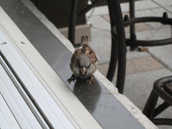 Kingston, Canada: A sparrow at the wonderful Coffee and desserts cafe!! mmmmmmmm