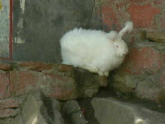 Manali, India: Angora rabbit