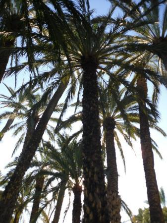 Alicante, Spania: Palm Trees in Elche