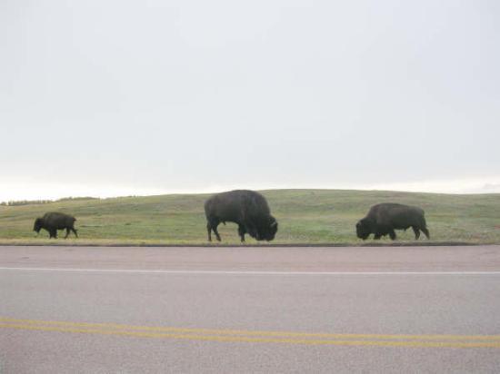 Rapid City, SD: buffalo Custer, South Dakota 2006