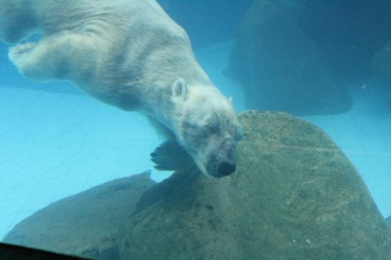 Underwater World and Dolphin Lagoon: This is the Singaporean Polar Bear.