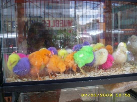 Ciudad Nezahualcoyotl, Mexico: A colored chick