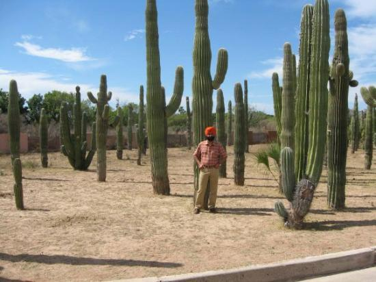 Giant Mexican Cactus