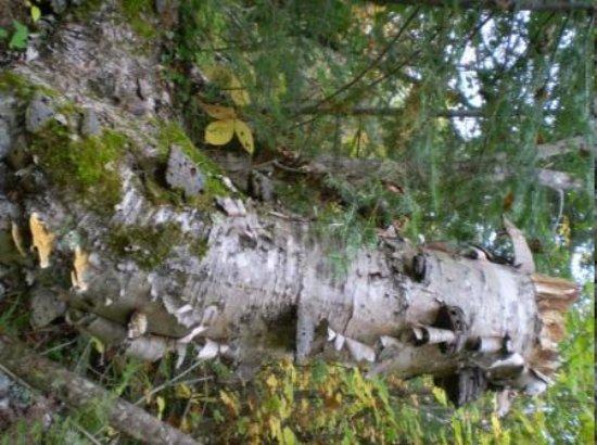 Minneapolis, MN: horsehoof fungi on birch stump