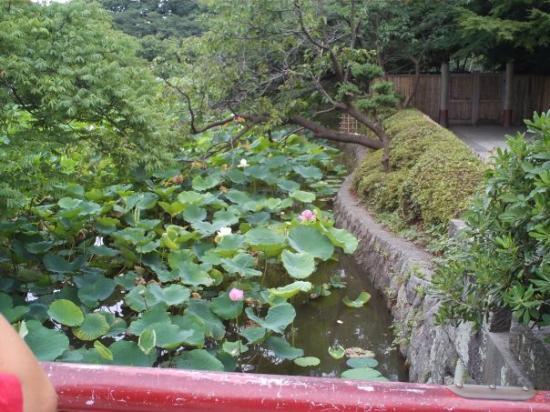 Kamakura, Japan: lotusi lotuses