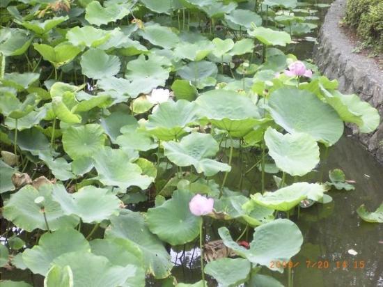 Kamakura, Japan: lotuses