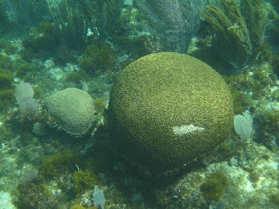 The Original Snorkeling Adventure: Brain coral