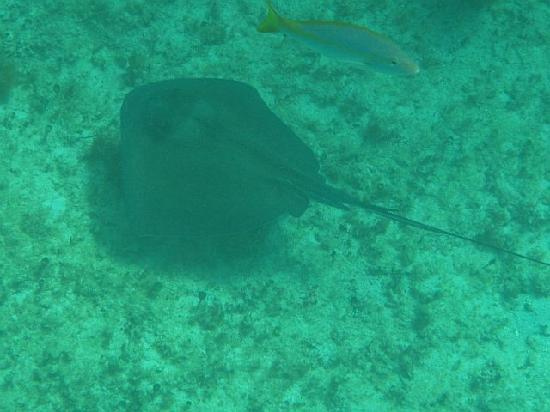 The Original Snorkeling Adventure: Sting ray