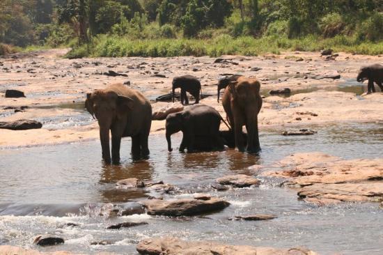 Negombo, Sri Lanka: Elefanten beim Baden