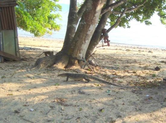Pulau Tioman, Malaysia: Varan & singe