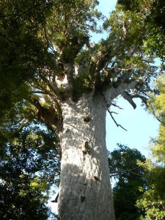 Paihia, New Zealand: Tane Mahuta (God of the Forest)
