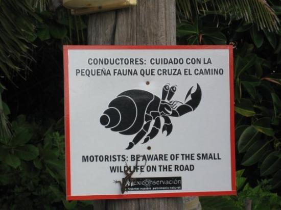 Akumal, Mexico: Crab crossing.  Sometimes a coti or two. Notice gecko on the sign.