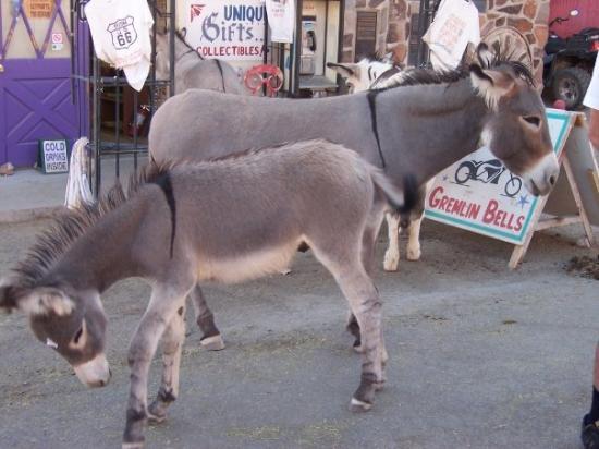 Wild burros in Oatman, AZ.