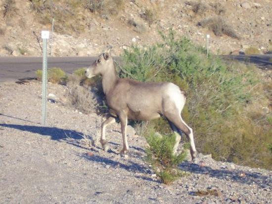 Oatman, AZ: Big horn sheep.