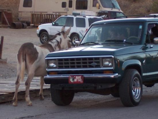 Oatman, AZ: Im a little hungry, might you have some vittles?