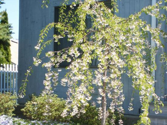 Bayville Cherry Blossom tree