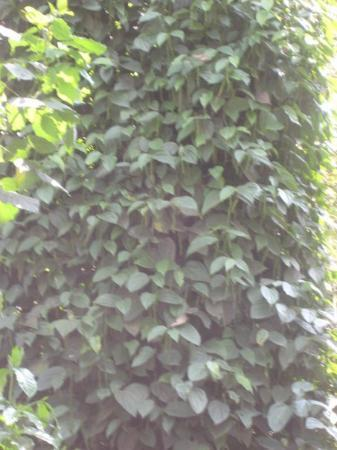 Madikeri, India: Pepper creepers in Coorg