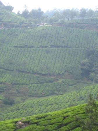 Munnar, India: View form our balcony in  Coorg : the tea gardens.