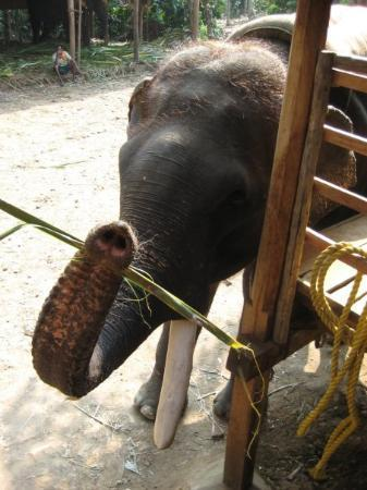 Thekkady, India: An elephant getting ready to be strapped for carrying tourists