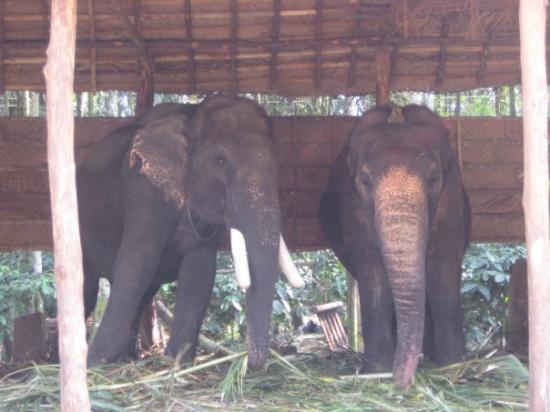Thekkady, India: Elephants near Periyar Wildlife Sanctuary