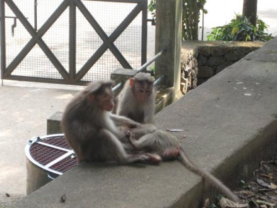 Thekkady, India: Monkeys at the Periyar Wildlife Sanctuary