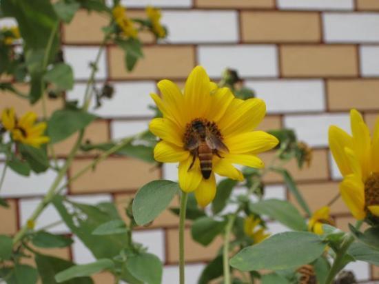 Calcutta, India: Bee On A Sunflower, Kolkatta