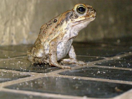 Nadi, Fiji: At Night, These Lil Froggies Took Over
