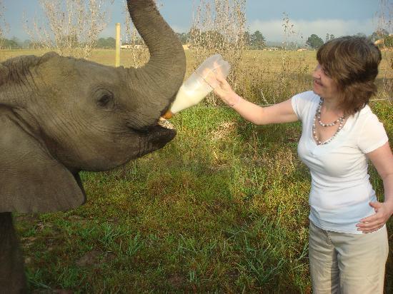 Knysna Elephant Park Lodge: Bottle feeding the baby elephants in the morning