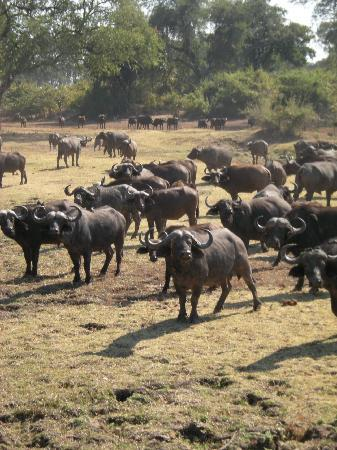 Kafunta River Lodge: Big herd of buffalo's (only very small part visible at the photograph)