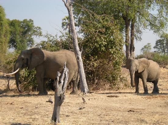 Kafunta River Lodge: Elephants during game drive: beautiful tusks!