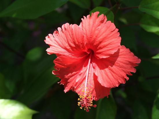 Kuramathi Island Resort: Just one of many beautiful flowers
