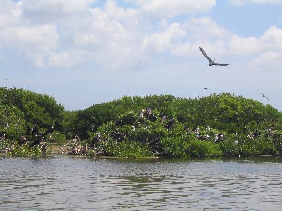 Pineapple Beach Club Antigua: Frigate bird sanctuary - Barbuda