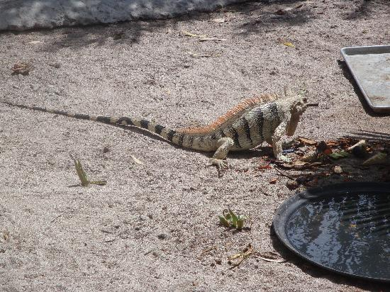 Palm Island Resort & Spa - All Inclusive: iguana in the turtle santuary