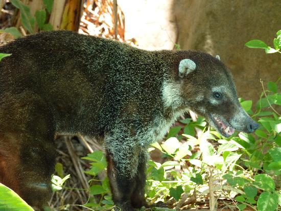 El Pequeno Gecko Verde: The tame coati