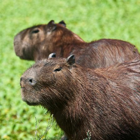 Rincon del Socorro: Capybaras were always around
