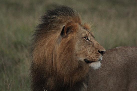 Kichaka Luxury Game Lodge: king of the beasts