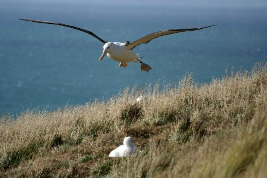 Elm Wildlife Tours: albatross