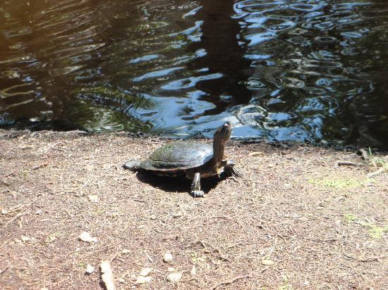Grand Paradise Samana: turtles in and near the pond area