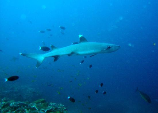 Constance Halaveli: One of the many sharks we saw diving