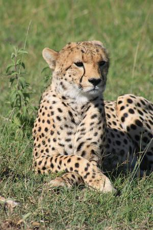 Wildlife Kenya Safaris - Day Trips: Cheetah in Masai Mara