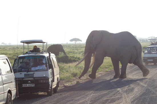 Wildlife Kenya Safaris - Day Trips: Herds of elephant at Amboseli National Park