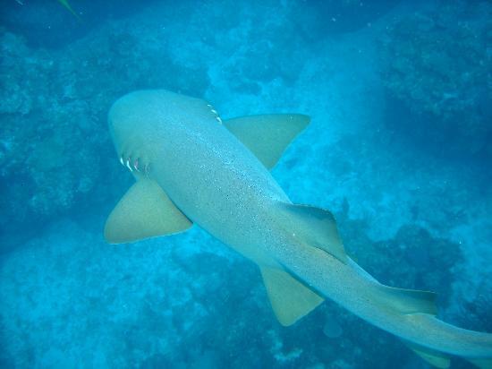 Belizean Shores Resort: Nurse Sharks