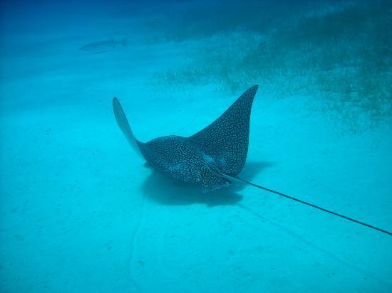 Belizean Shores Resort: Eagle Ray