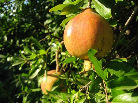 Akdeniz Bahcesi: orchard fruit