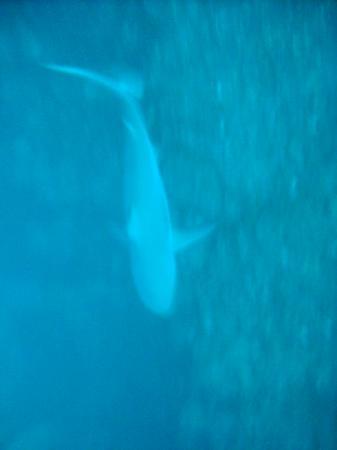 Amigos Del Mar Dive Shop: Bull Sharks