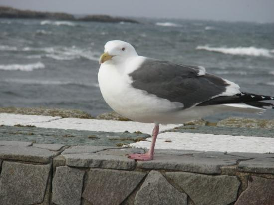 Oma-machi, Japan: close up of lazy seagull... i would have had a closer picture of it if SOMEONE didnt run and sca